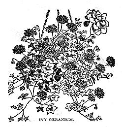 Ivy-Geranium