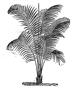 Palm illustration