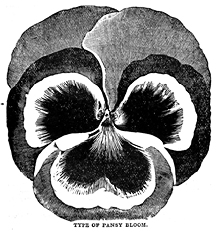 Pansy illustration