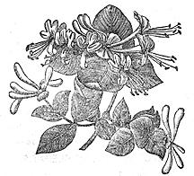 Honeysuckle illlustration